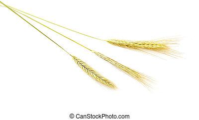 Barley wheat - Barley Hordeum vulgare isolated on white ...