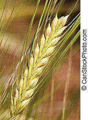 Barley - wheat close up.