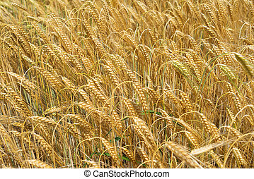 Barley with heavy brown ears