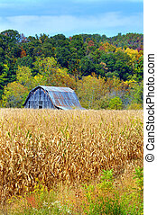 Barn and Cornfield - Rustic, wooden and weathered barn sits...