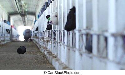 Barn calf. Cows on russian Farm - Cows and Barn calf on Farm