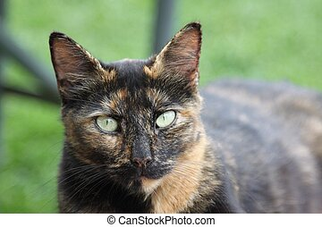 Barn cat with light green eyes - This black brown and tan...