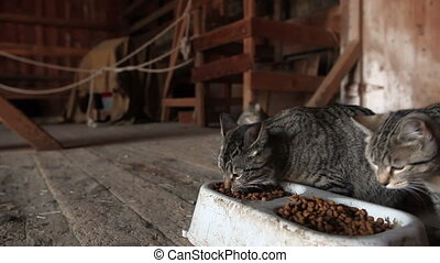 Farm cats gather in a barn to eat their cat food.