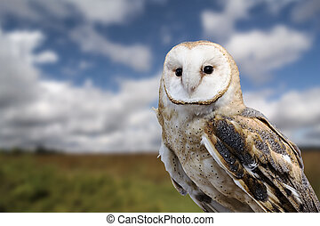 Barn Owl - A barn owl close up with a grass field and blue...