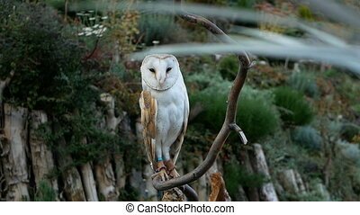 barn owl at branch background of forest