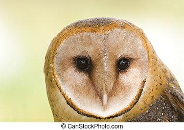 Barn owl face - Close-up of a barn owls face