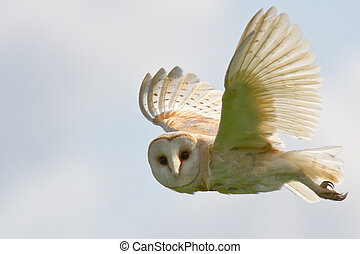 Barn Owl flying in sky