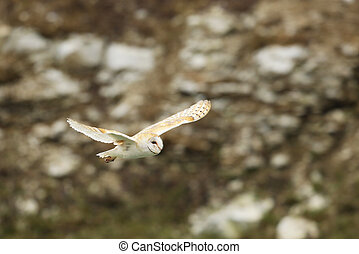 Barn owl flying with open wings above the stones - Tyto alba