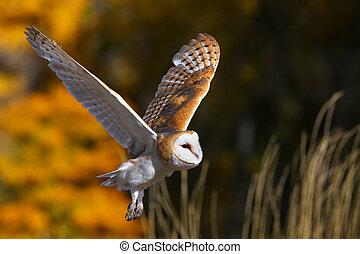 Barn owl in flight - Barn owl (Tyto alba) in flight