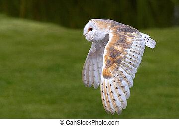 Barn Owl in flight in front of a dark bush