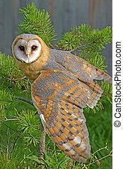 Barn Owl in pine tree, wings spread