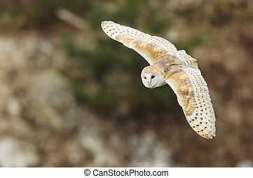 Barn owl ly with open wings. Tyto alba