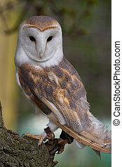 Barn Owl on perch - Barn Owl perched on a branch