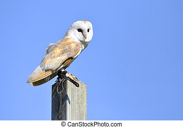 Barn owl on post - Barn owl (Tyto alba) on a post on blue ...