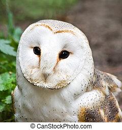 Barn owl or Church owl - square image - Portrait of Barn owl...