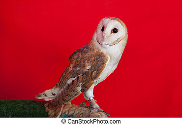 Barn owl perched - Portrait of a barn owl perched over red...