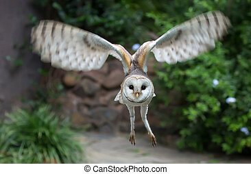 Barn Owl Raptor Bird Flying - Beautiful barn owl with soft ...