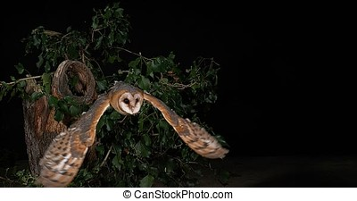 Barn Owl, tyto alba, Adult in flight, Normandy, Slow Motion...
