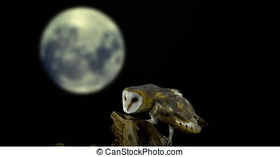 Barn Owl, tyto alba, Adult looking around at Moon, Normandy,...