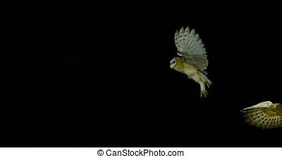 Barn Owl, tyto alba, Adults in flight, Normandy, Slow Motion...