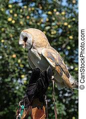 Barn owl (Tyto alba) on hand of falconer.