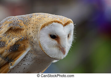 Barn Owl /  tyto alba - Profile Of A Barn Owl