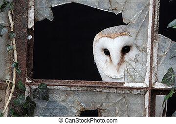 Barn owl, Tyto alba, single bird in old iron and glass ...