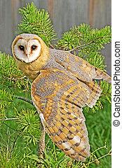 Barn Owl wings spread - Barn Owl sitting in pine tree, wings...