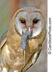 Barn Owl with mouse, portrait closeup