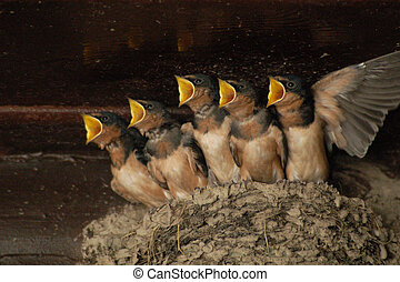 These baby barn swallows were eagerly awaiting the return of their mother, and food!