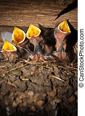 Barn Swallow chick II - Rauchschwalben-Küken im Vogelnest....