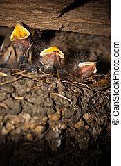 Barn Swallow chick III