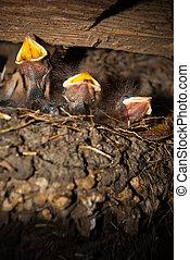 Barn Swallow chick III - Rauchschwalben-Küken im Vogelnest....