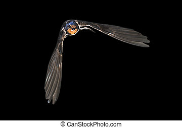 Barn swallow flying on black background