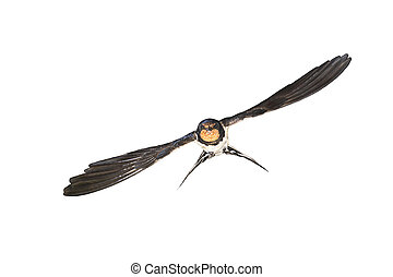 Barn swallow flying on white background