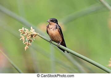 Barn Swallow on a branch