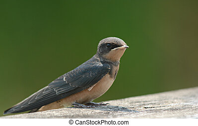 Barn Swallow On A Rail