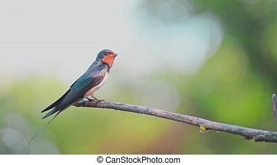 Barn Swallow or Hirundo rustica perches on branch - Barn...