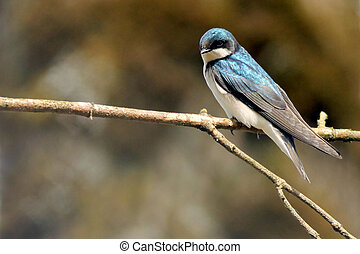 Barn Swallow Perched on a Branch