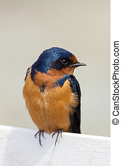 Barn Swallow Perched on a Fence Watching