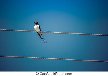 Barn Swallow perched on a page wire fence.