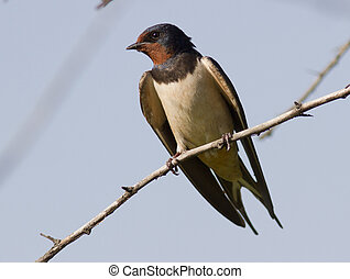 Barn Swallow sitting on a tree.