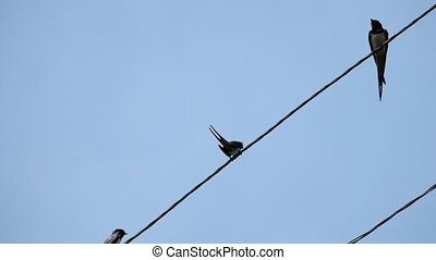 Barn swallow sitting on wires against a blue sky (Hirundo rustica)
