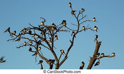 Barn swallow (Hirundo rustica) perched on a dead tree, South Africa