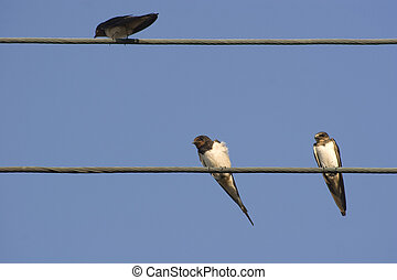 Barn Swallows (Hirundo rustica) on electricity wire - Barn...