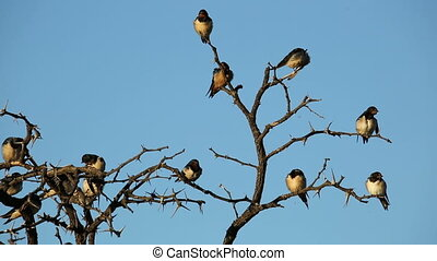 Barn swallows (Hirundo rustica) perched on a dead tree,...