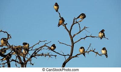 Barn swallows (Hirundo rustica) perched on a dead tree,...