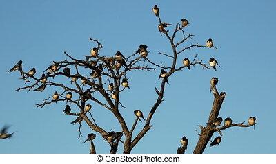 Barn swallows - Barn swallow (Hirundo rustica) perched on a...
