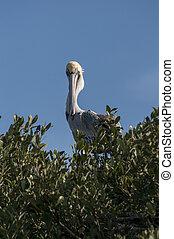 barna, érintkezés, Szem, pelikán