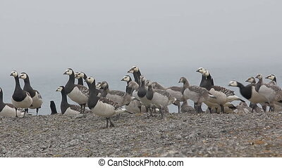 Barnacle goose worry. Flock of geese with Chicks on Vaygach island, Barents sea.